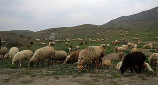 """Отара овец. Фото Алвард Григорян для """"Кавказского узла"""""""