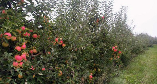Яблоневый сад. Фото: http://07kbr.ru/wp-content/uploads/%D1%81%D0%B0%D0%B41.jpg