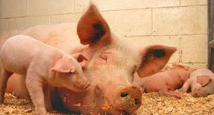 Свиньи. Фото https://ru.wikipedia.org/