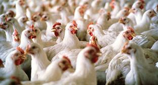 Куры на птицеводческой фабрике. Фото: http://novosti.az/economic/20141013/301041226.html