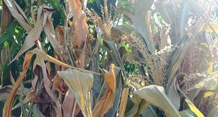 Погибшие всходы кукурузы. Фото Магомеда Магомедова для