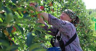 Сбор урожая в Ингушетии. Фото: http://www.ingushetia.ru/photo/section.php?SECTION_ID=125
