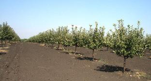 Яблоневый сад. Фото http://8772.ru/novosti-maykopa/vlast/aslan-thakushinov-posetil-predprijatie-z.html