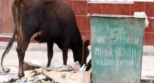 Корова на улице Махачкалы. Фото: http://www.riadagestan.ru/news/makhachkala/ocherednoy_reyd_po_otlovu_krupnogo_rogatogo_skota_proshel_v_makhachkale/
